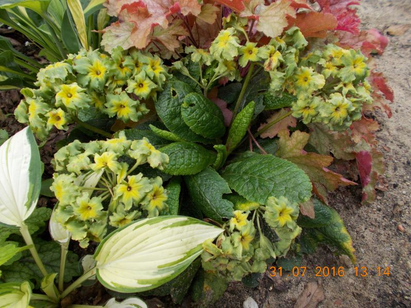 Zielono Zakręceni: Pierwiosnek (Primula) – warunki uprawy, w